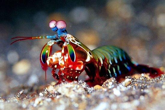 Adventure Diving: Mantis shrimp in the night at Kudagiri