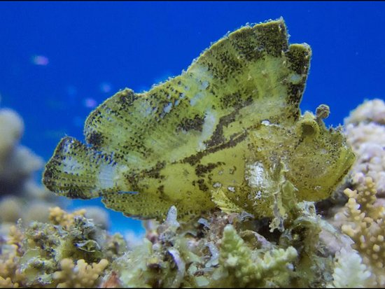Adventure Diving: Leaf fish at Vilivaru reef