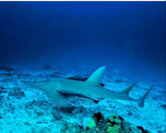 Adventure Diving: Guitar shark at kandu oi giri reef