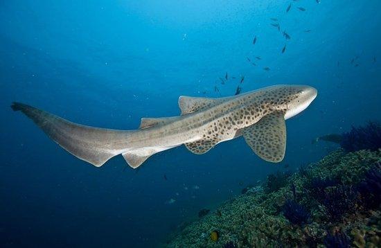 Adventure Diving: Leopard shark seen on Shark reef and Lhosfushi corner