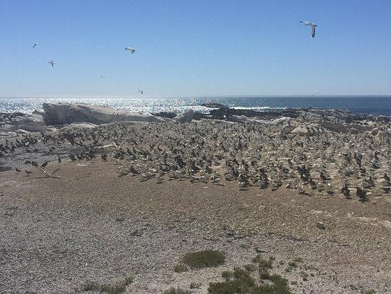 Bird Island Nature Reserve: It was a nice walk along the shore. There were thousands of gannets on the beach, the chicks wer