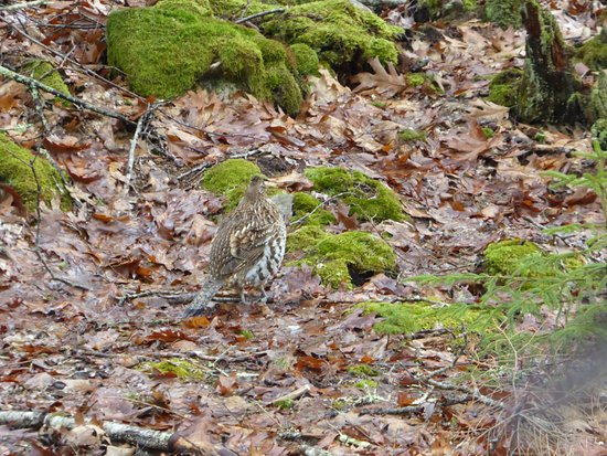 The Natural History Center: Ruffed grouse from birding trip in Bass Harbor, March 2017