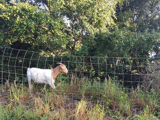 Waihee, HI: goat