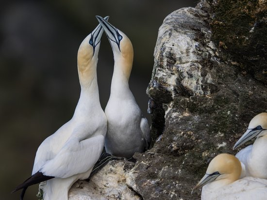 Unst, UK: Breeding gannets