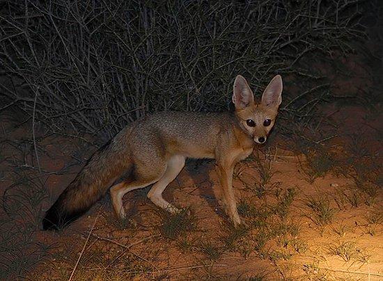 Upington, África do Sul: Cape Fox