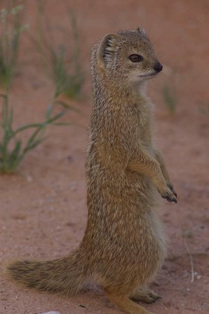 Upington, África do Sul: Yellow Mongoose