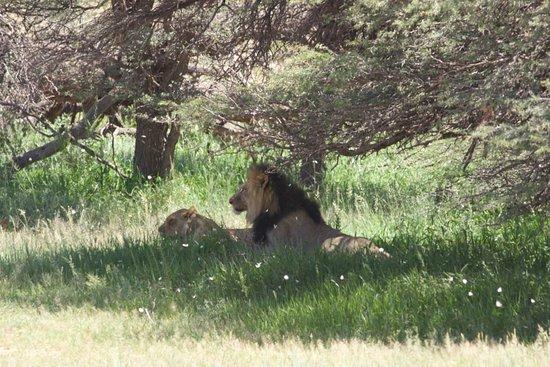 Upington, África do Sul: Kalahari Black-mained Lion