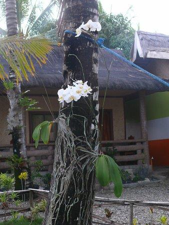 Nitivos Beach Resort: Orchids grow naturally in the garden/park. Here a Phaleanopsis.