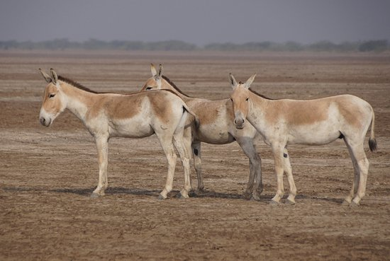 Great Rann of Kutch: Little rann of Kutch, Rann riders cottages