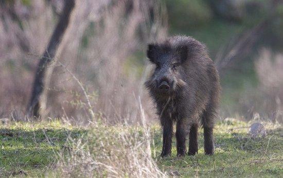 Province of Granada, Spain: Wild Boar