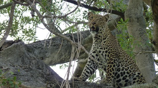 Ngala Private Game Reserve, South Africa: Magnificent creature - right above our heads.