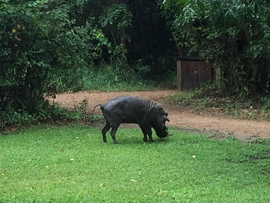 Ngala Private Game Reserve, África do Sul: Our pet wart hog right out our front door.