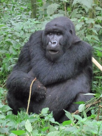 Virunga Lodge: Gorilla trekking in the Volcanoes national Park nearby