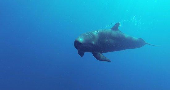 Osa Peninsula, Costa Rica: false killer whale