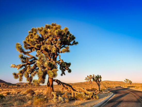 California Desert, Californië: Joshua Tree in the day