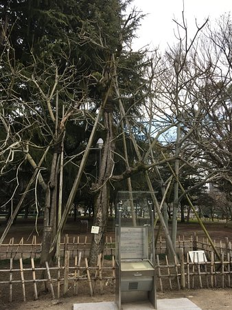 Chinese Parasol Tree That was Exposed to Hiroshima Bombing
