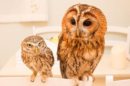 Owl Cafe Experience i Akihabara
