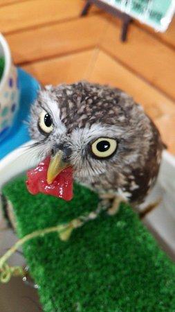 Owlpark Owl Cafe Ikebukuro tokyo: あうるぱーくフクロウカフェ池袋でエサやり体験