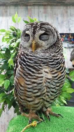 Owlpark Owl Cafe Ikebukuro tokyo: リラックスしてお昼寝タイム1赤葦ハッピー