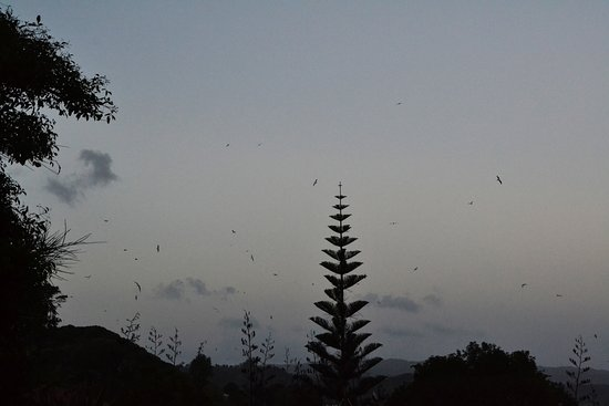 Kohukohu, New Zealand: Circling seabirds at dusk - possibly feeding on insects - no one knows