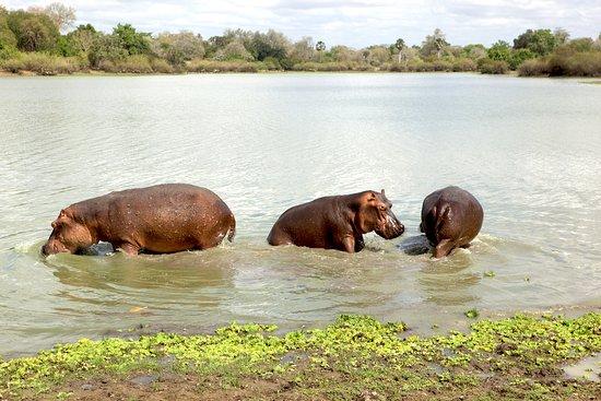 Waterbuck Safaris: Hippos in Selous