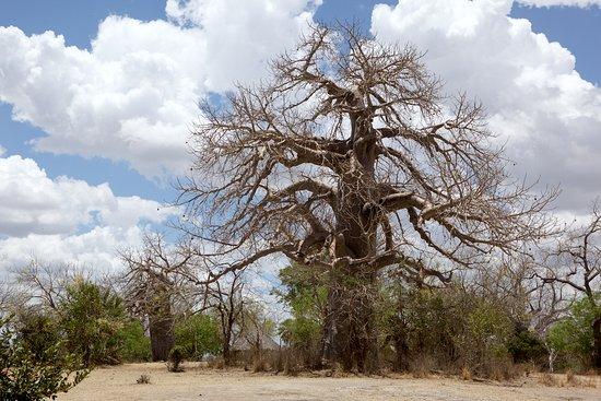 Waterbuck Safaris: Baobab tree