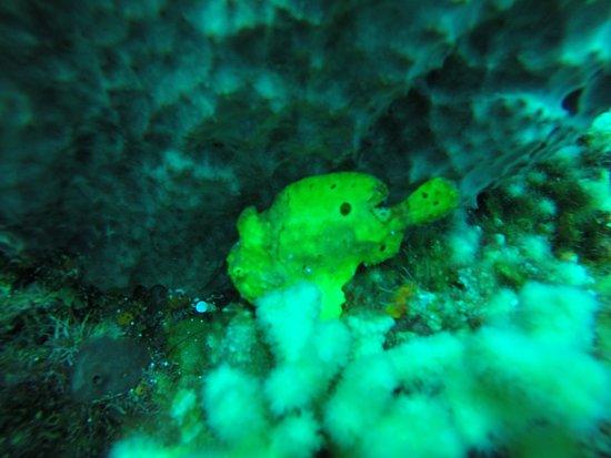 Roseau, Dominica: frog fish