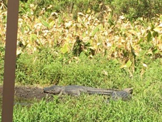 DeBary, FL: gators along the St. John's River