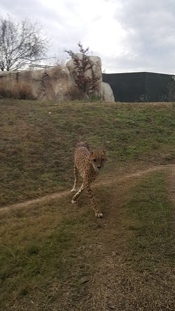 Dallas Zoo: cheetah....faster than the any creature on earth!