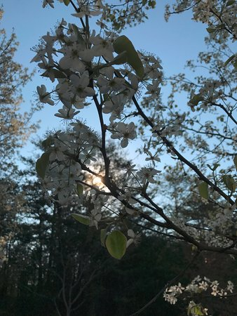 Sunrise Ridge Resort: Property trees blooming in early March