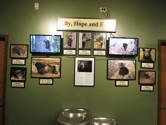 Ely, MN: learn about the bears that taught Dr. Lynn Rogers