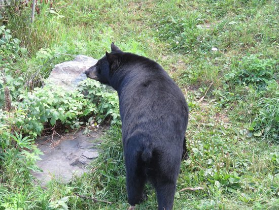 Ely, MN: bears are always checking out their surroundings