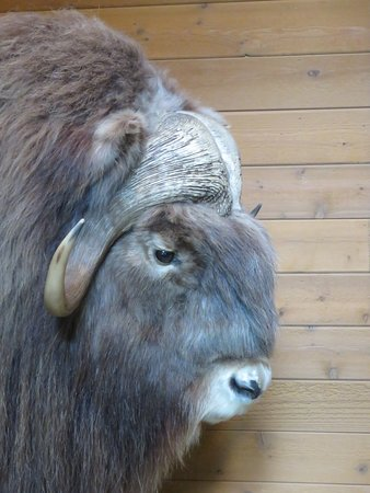 Ely, Миннесота: musk ox display ( stuffed )