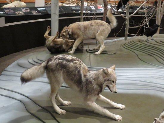 Ely, MN: wolf behavior