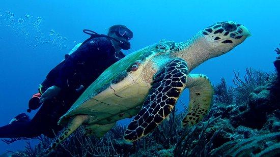 Jupiter Scuba Diving: Hawksbill turtle