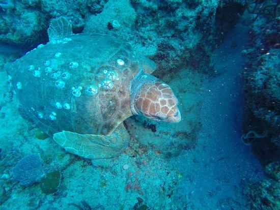 Jupiter Scuba Diving: Loggerhead turtle