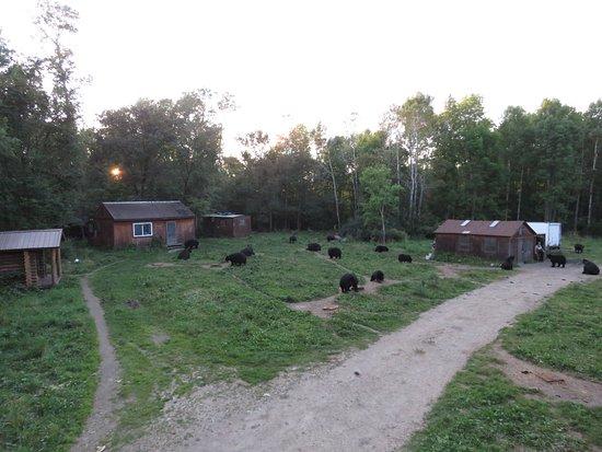 Orr, MN: a few bears in area 1