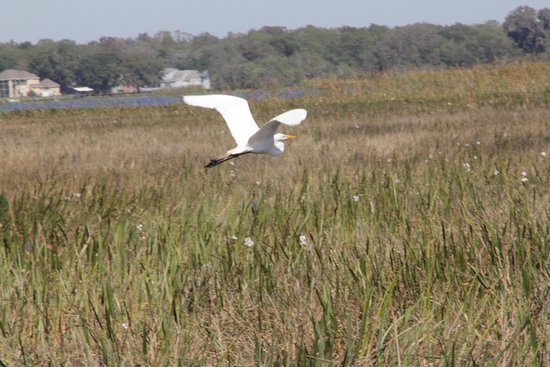 Kissimmee, FL: thanks to captain Ken of Marsh Landing Adventures we saw this great bird