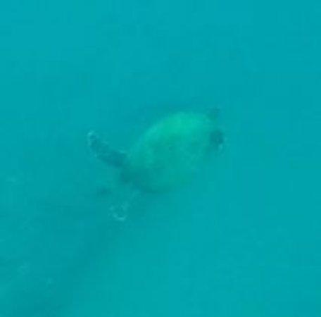 Дрейк-Бэй, Коста-Рика: Green Turtle_large.jpg