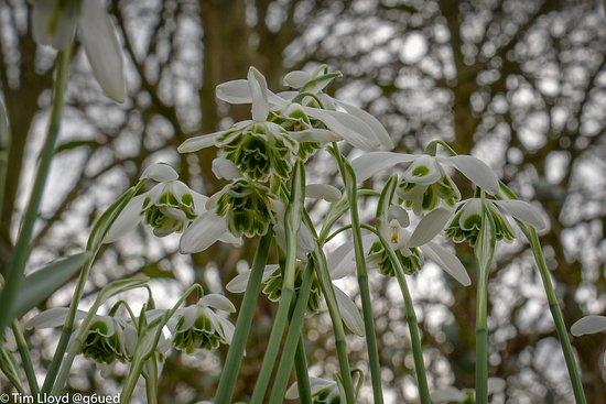 Alcester, UK: Snowdrops