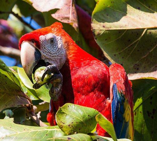 Ka'Kau Jungle Cabinas : Scarlet Macaw
