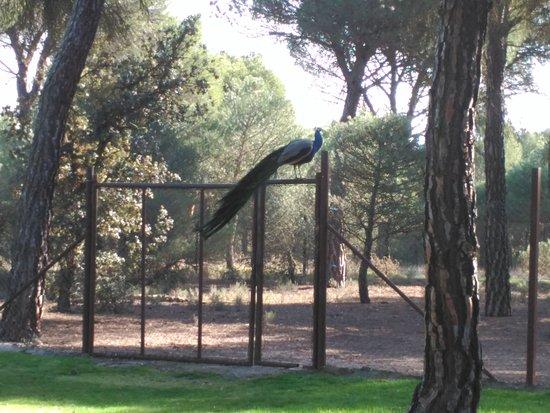 La Posada Real del Pinar: Parque con Pavos reales