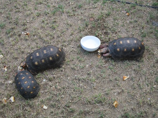 Les Ilets de la Plage: local turtles