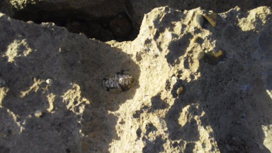 Ababor Suites: sea cockroach in tidal pool at Playa Bastimento