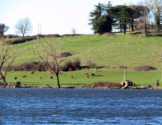 Valentano, Италия: mucche al pascolo in un terreno privato del lato nord