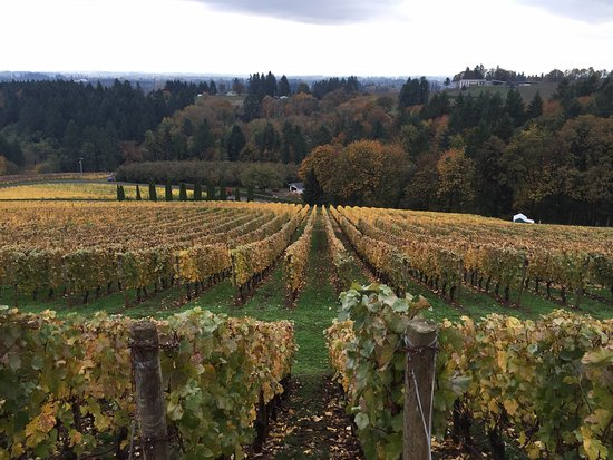 Dayton, Oregón: View of vines during Fall at Archery Summit