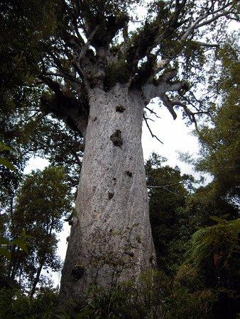 Opononi, Yeni Zelanda: Tane Mahuta