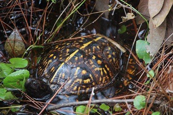 Eastpoint, Флорида: a happy turtle spotted alongside the boardwalk