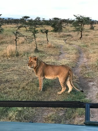 Kicheche Laikipia Camp: Close up lion!