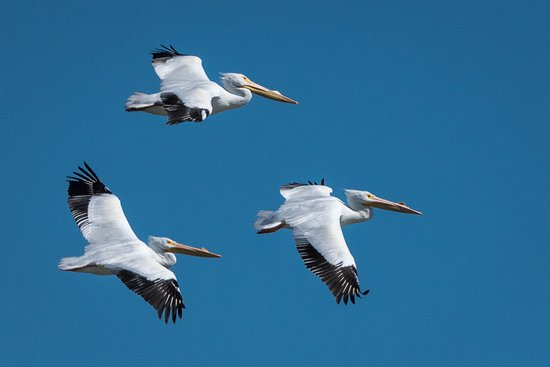 Rockport, TX: White Pelicans flying in formation